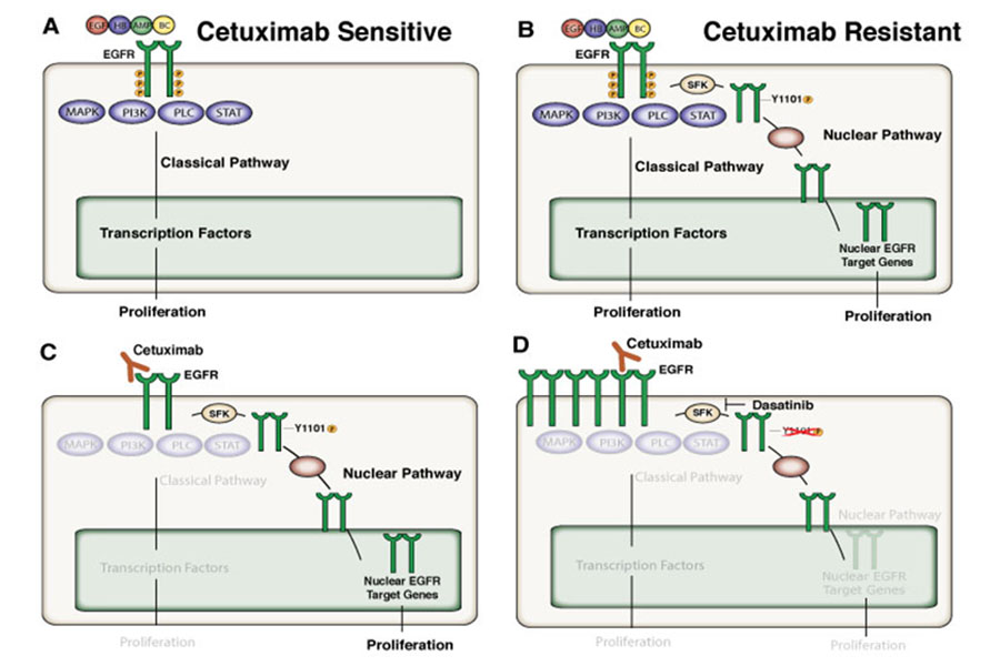 Illustration depicting how nEGFR leads to resistance cetuximab therapy